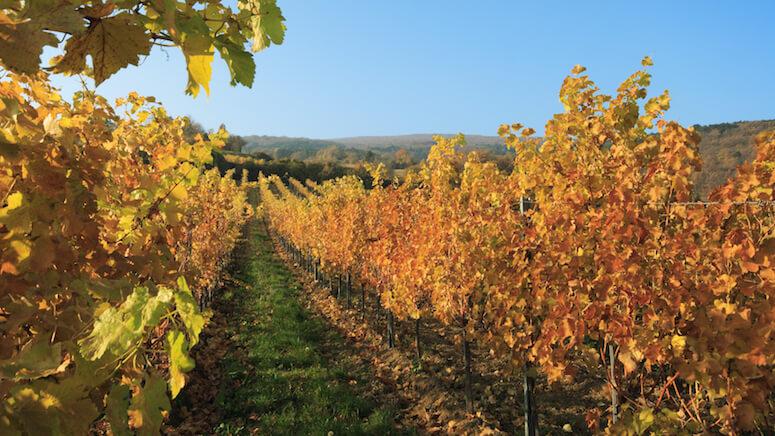 Weinanbaugebiet in Gumpoldskirchen
